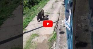 Αρκούδα με τα δύο μικρά της βρήκε καταφύγιο σε αυλή σπιτιού