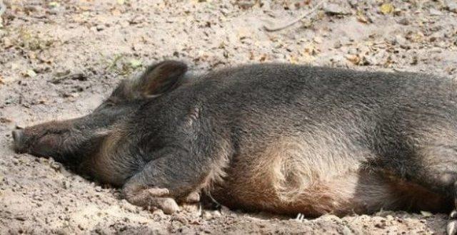 Εντοπίστηκαν νεκρά δεκάδες αγριογούρουνα σε περιοχή των Τρικάλων