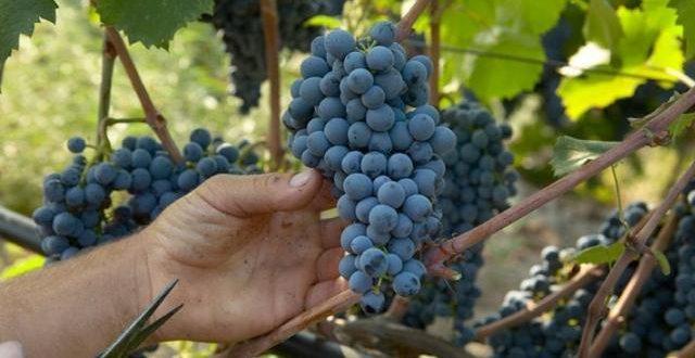 Οδηγίες για βεβαιώσεις αμπελοκαλλιέργειας στο δήμο Τρικκαίων