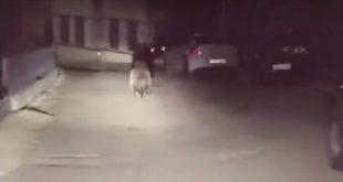 Το αναπάντεχο συναπάντημα με αρκούδα στο κέντρο της πόλης του Μετσόβου!