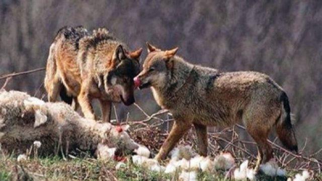 Στο έλεος των λύκων τα χωριά της Φαρκαδόνας