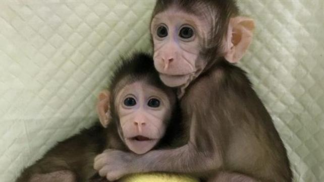 Μετά την Ντόλι τα μαϊμουδάκια Zhong Zhong και Hua Hua