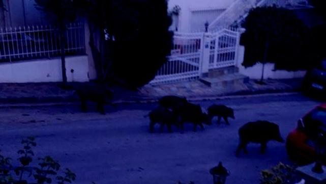 """Αγριογούρουνα """"βολτάρουν"""" σε κατοικημένες περιοχές των Τρικάλων"""