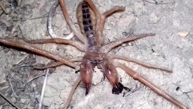 Αράχνη – σκορπιός εμφανίστηκε στα Τρίκαλα!