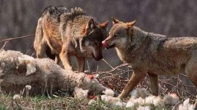 Λύκοι κατασπάραξαν πρόβατα στην Οιχαλία Τρικάλων