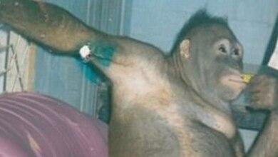 Ανθρώπινη κτηνωδία: Βίαζαν ουρακοτάγκο σε οίκο ανοχής!!!