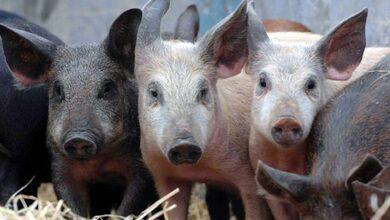 Φρίκη: Λιποθύμησε στο χοιροστάσιο και την κατασπάραξαν τα πεινασμένα γουρούνια!!!