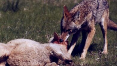 Photo of Επίθεση λύκων σε κοπάδι στο Γριζάνο Τρικάλων