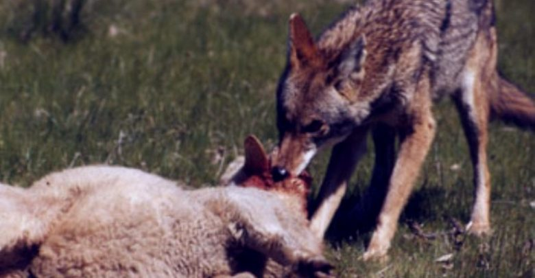 Επίθεση λύκων σε κοπάδι στο Γριζάνο Τρικάλων