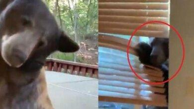 Αρκούδα μπουκάρει σε σπίτι και η ένοικος καταγράφει χαλαρή το «ντου» με το κινητό της