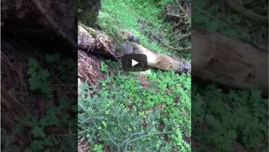 Αρκουδάκι προσπαθεί να σκαρφαλώσει σε δέντρο στο Περτούλι Τρικάλων
