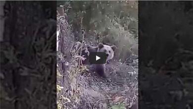 Photo of Αρκουδάκι εγκλωβίστηκε σε φράχτη στον Κορυδαλλό Καλαμπάκας | ΒΙΝΤΕΟ