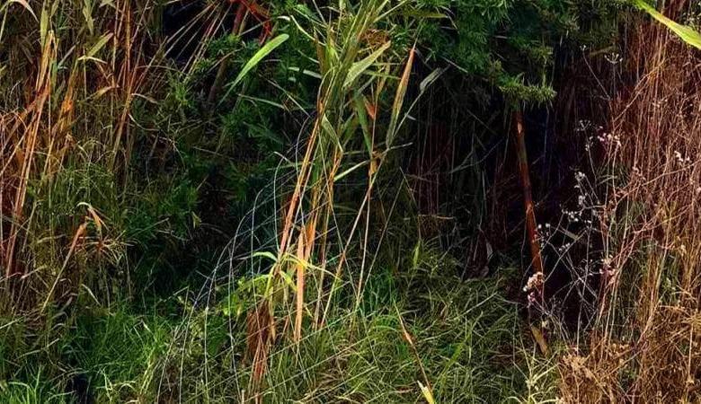 Συλλήψεις για φυτεία κάνναβης σε αγροτική περιοχή των Τρικάλων