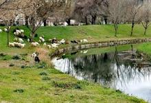 Photo of Πρόβατα στις όχθες του Ληθαίου!!!
