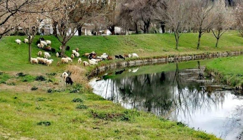 Πρόβατα στις όχθες του Ληθαίου!!!